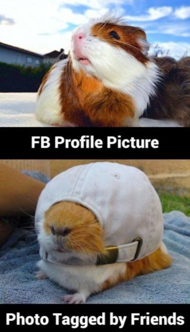 facebook-profile-picture-versus-photo-tagged-by-friends-guinea-pig (1)